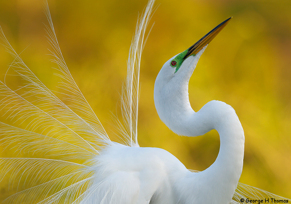 Great Egret, Gatorland, FL