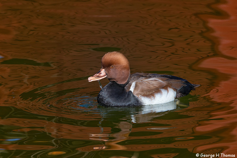 Red-crested Pochard, Memphis Zoo
