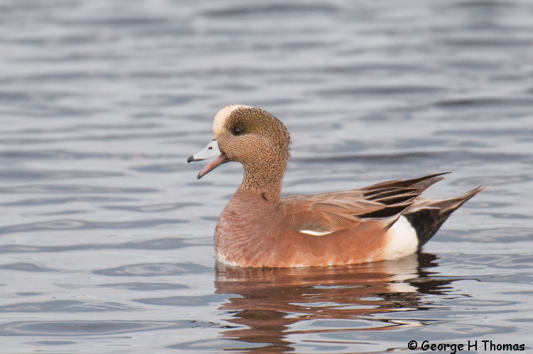 Widgeon, American