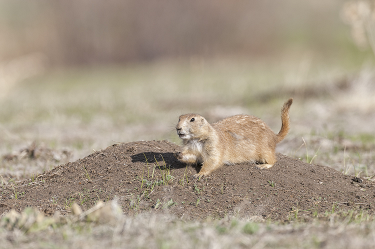 BlackTailPrairieDog